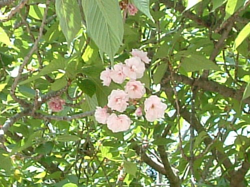 コロッセオ付近に咲いていた桜